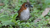 """Our third """"jewel"""" component, the antpittas: some species are much easier to see now thanks to habituation! Photo by participant Peter Relson."""