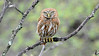 Peruvian Pygmy-Owl at Catamayo gave our group a fine view. Photo by participant Tom Hammond.