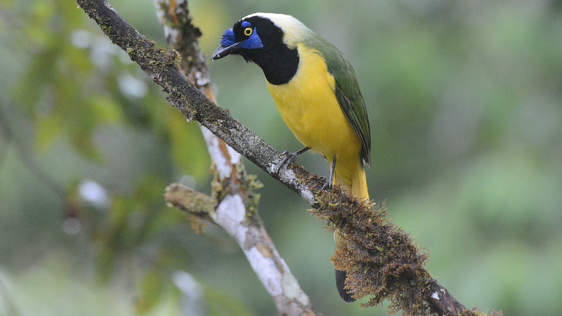 "Green Jay of the ""Inca"" form in Ecuador is a spectacular bird! Photo by participant Peter Relson."