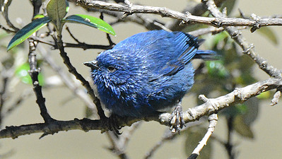 The Tit-like Dacnis is a specialist of the high Polylepis woodlands of SW Ecuador down through Peru. Photo by participant Peter Relson.