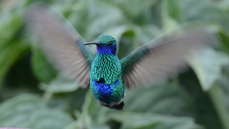 "A photo series from our 2016 tour: Among the huge variety of ""jewels"" was this Sparkling Violetear by participant Peter Relson."