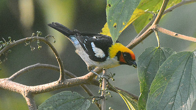 Flame-faced Tanager photographed by participant Peter Relson.