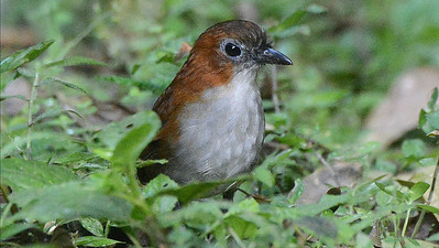 "Our third ""jewel"" component, the antpittas: some species are much easier to see now thanks to habituation! Photo by participant Peter Relson."