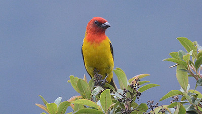 "Tanagers, like this lovely Red-hooded, are another large feature of the ""jewels"" theme of the tour. Photo by participant Peter Relson."