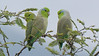 Diminutive Pacific Parrotlets are fine-looking birds when seen this well! Photo by participant Peter Relson.