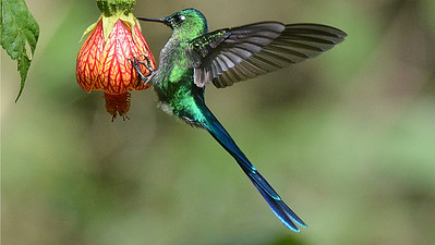 A spectacular Long-tailed Sylph on an equally eye-catching Abutilon flower. Photo by participant Peter Relson.