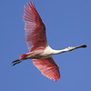 Roseate Spoonbill, called Cajun Flamingo locally, by guide Cory Gregory
