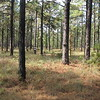 Longleaf pine savannah at  Kisatchie National Forest by guide Eric Hynes