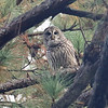 Barred Owl by participant Paul Koker
