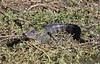 American Alligator in a coastal bayou by guide Eric Hynes