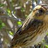 Nelson's Sparrow by guide Dan Lane