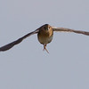 Rare flight perspective on a Yellow Rail by guide Cory Gregory