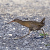 Clapper Rail crossing the road by guide Cory Gregory