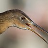 King Rail by guide Cory Gregory