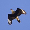 Crested Caracara by guide Cory Gregory