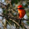Vermilion Flycatcher by guide Dan Lane