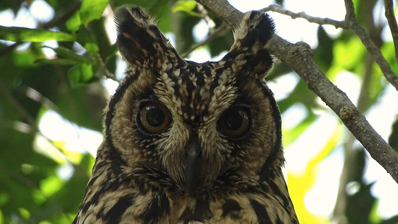 Madagascar Long-eared Owl at Zombitse, photographed by guide Phil Gregory