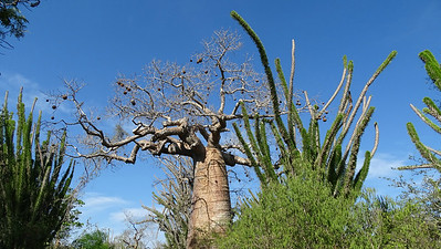 A baobab in the spiny forest of the south and southwest, photographed by guide Phil Gregory