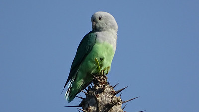 Gray-headed Lovebird at Parc Mosa, photographed by guide Phil Gregory