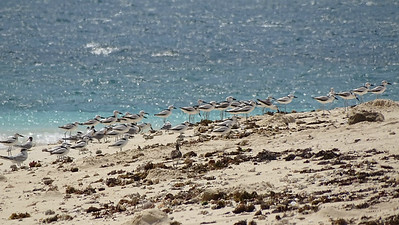 Crab Plovers with a few terns along the coast, photographed by guide Phil Gregory