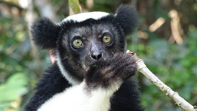 Indri at Feon Ala, photographed by guide Phil Gregory. This is the largest living lemur, and the species gives fantastic, loud vocalizations.