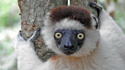 Endemic lemurs are a big non-avian highlight of this tour. This is a Verreaux's Sifaka, one of the larger species, photographed by participant Sheila Vince.