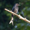 Crested Drongo, photographed by participant Randy Siebert