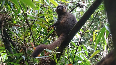 Golden Bamboo-Lemur at Ranomafana, photographed by guide Phil Gregory