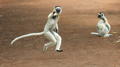 Verreaux's Sifakas bounce around entertainingly from spot to spot on two legs. Photo by guide Phil Gregory.