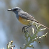 Littoral Rock-Thrush along the southwestern coast, photographed by guide Phil Gregory