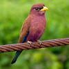 The lovely Broad-billed Roller, photographed by participant Randy Siebert
