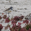 Madagascar Plover on the Mangily salt flats, photographed by guide Phil Gregory