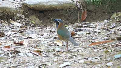 Pitta-like Ground-Roller, photographed by guide Phil Gregory