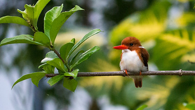 Madagascar Pygmy Kingfisher, photographed by participant Randy Siebert