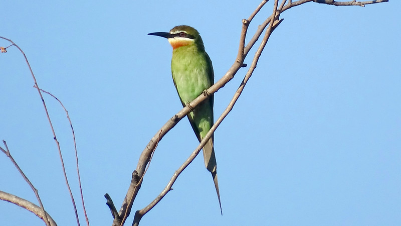 Olive Bee-eater at Isalo, photographed by guide Phil Gregory