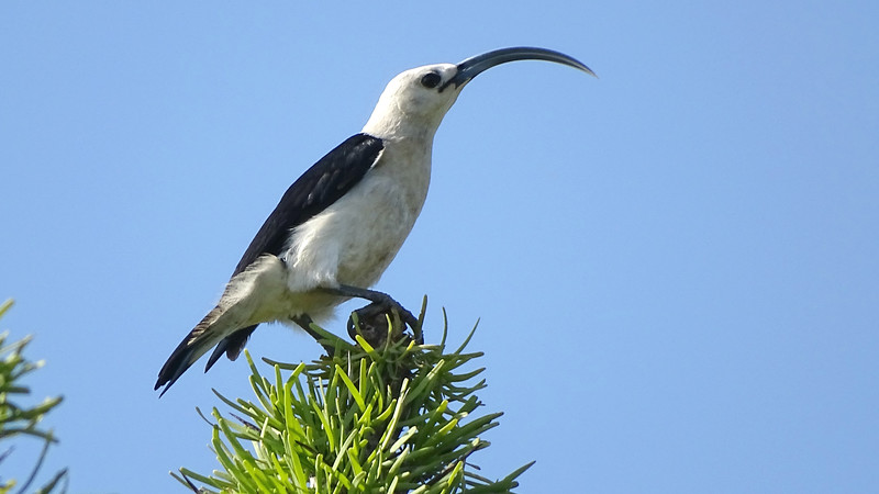 Sickle-billed Vanga at Parc Musa Mangily, photographed by guide Phil Gregory