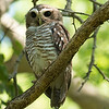 White-browed Owl, photographed by participant Randy Siebert