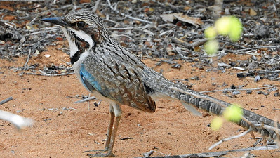 Long-tailed Ground-roller, photographed by participant Sheila Vince