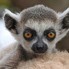 A baby Ring-tailed Lemur atop its mother's back, photographed by participant Sheila Vince