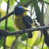 Yellow-bellied Sunbird-Asity male at Vohiparara, photographed by guide Phil Gregory