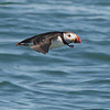 Atlantic Puffin is always a highlight, by guide Cory Gregory