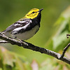 Black-throated Green Warbler, by guide Eric Hynes