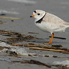 The endangered Piping Plover, by guide Eric Hynes