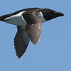 Razorbill, by guide Eric Hynes