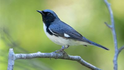 Black-throated Blue Warbler is one of the migrant songbirds that show up along the coast in fall in good numbers. Photo by guide Cory Gregory.