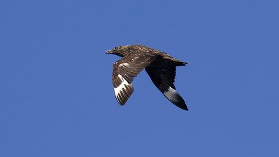 Our pelagic trip out of Bar Harbor provides one of the best opportunities to see Great Skua in North America. Photo courtesy of Holly Merker.