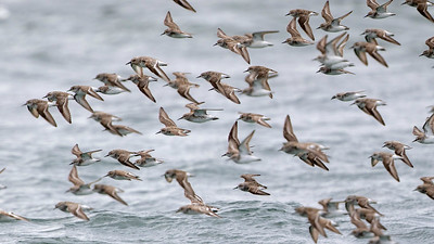 Semipalmated Sandpipers and many other shorebird species migrate along the Maine coast. Photo by guide Cory Gregory.