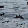 Black Storm-Petrels by guide Micah Riegner