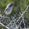 Wintering Gray Vireo by guide Micah Riegner