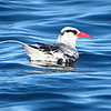 Red-billed Tropicbirds breed in the Gulf of California. Photo by guide Micah Riegner.